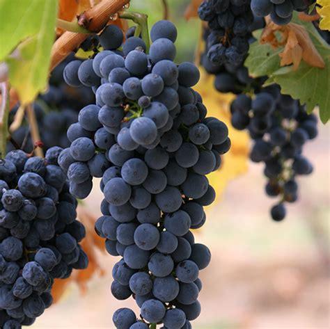 Imagenes De Uva Malbec   vinho malbec entenda porque os malbecs argentinos s 227 o
