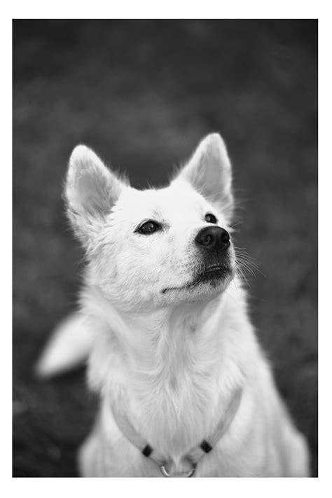 Anjing Kintamani Bali anjing kintamani pet ography
