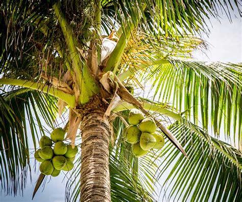Bibit Kelapa Hibrida Jogja lipi berikan 1 500 bibit kelapa hibrida kepada warga desa
