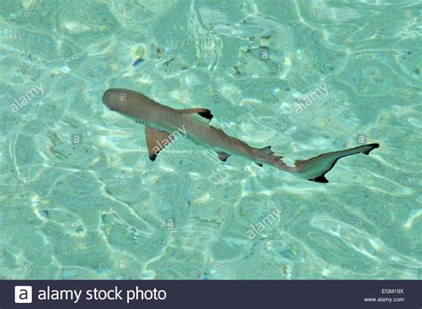 baby shark jakarta kanawa stock photos kanawa stock images alamy