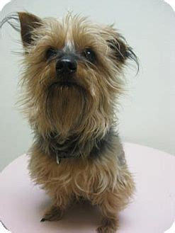 yorkie indiana gary in yorkie terrier mix meet spike a for adoption