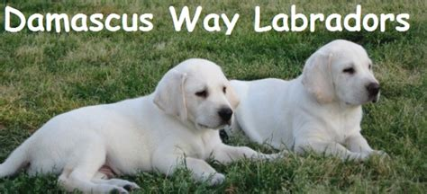 yellow lab puppies for sale in ga about damascus way labradors