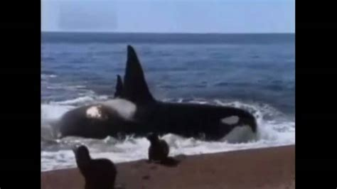 ataque mortal de un gran tiburon blanco ataque mortal de un gran tiburon blanco