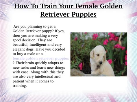 how to your golden retriever puppy how to your golden retriever puppies