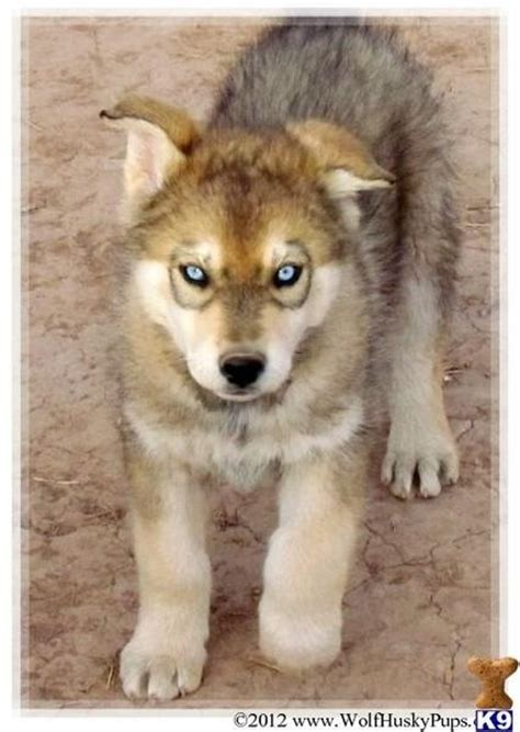 wolf husky puppies wolf husky mix i want pets