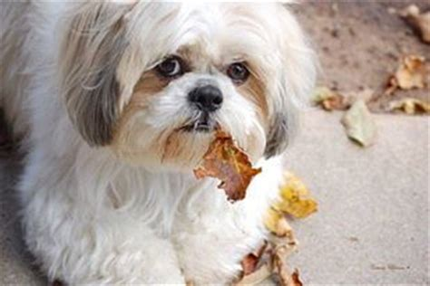 29 best shih haircuts images on pinterest bath cute 33 best images about dogs shih tzu on pinterest shih