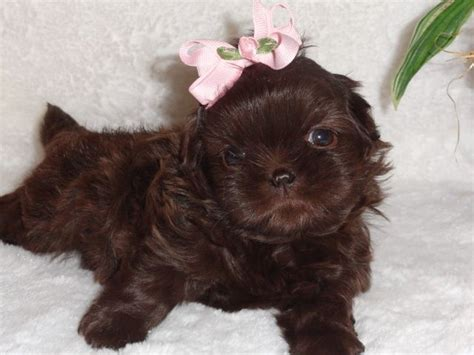 liver brown shih tzu this is our akc liver chocolate shih tzu named coco when she was only 5 weeks