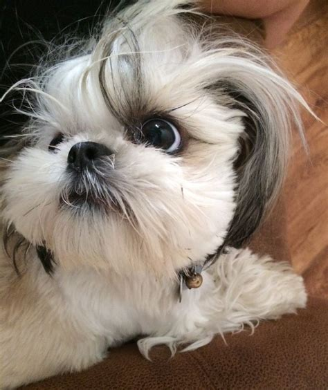 shih tzu hair growth 17 best images about shih tzu dogs on