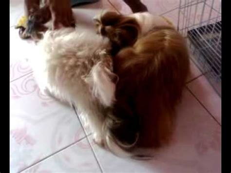 shih tzu mating shih tzu mating