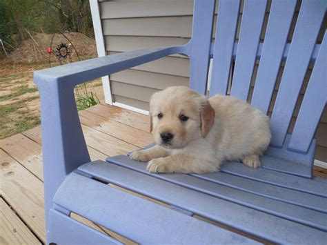 golden retriever puppies wa golden retriever puppies for sale downtown wa 246826