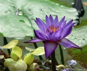 Purple Lotus Flower Meaning Purple Lotus Spiritual And An Endless