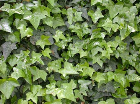 edera fiori edera ricante piante da giardino