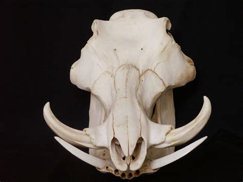small skull skulls search and search on