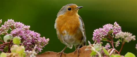 the rspb robin
