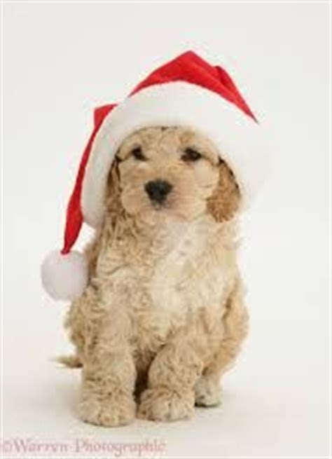 labradoodle christmas jumper 157 best images about cockapoo on poodle mix poodles and doggies