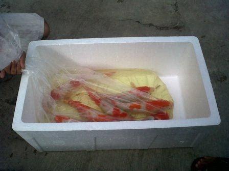 Jual Bibit Ikan Sidat Murah indukan dan bibit ikan koi murah budidaya koi