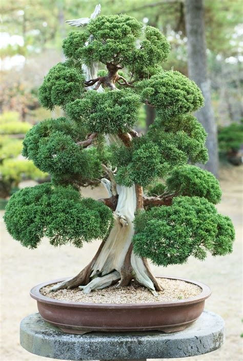 bonsai tree yun free stock photos no 6933 a korean bonsai republic