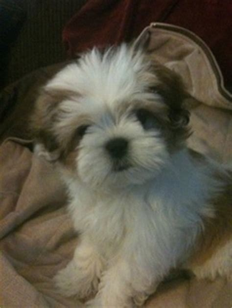 oldest living shih tzu lhasa apso one of the quot top 5 living breeds