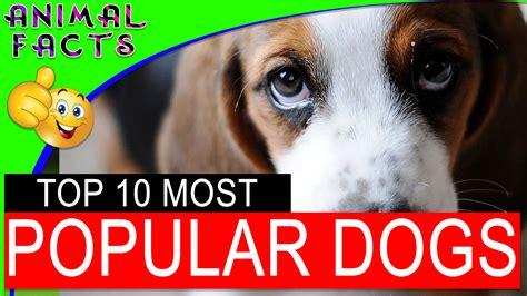 most popular breeds 2017 top 10 most popular breeds in america 2017 dogs 101 animal facts
