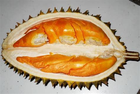 Tanaman Durian Bawor 1 tanaman durian orange jual tanaman hias