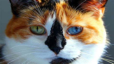 calico color amazing calico cat with two different colored
