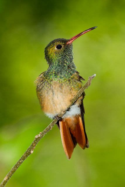 buff bellied hummingbird amazilia yucatanensis common