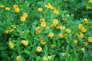 propagating lantana plants growing lantana seeds and