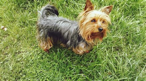 top yorkie names what are some names for a yorkie reference