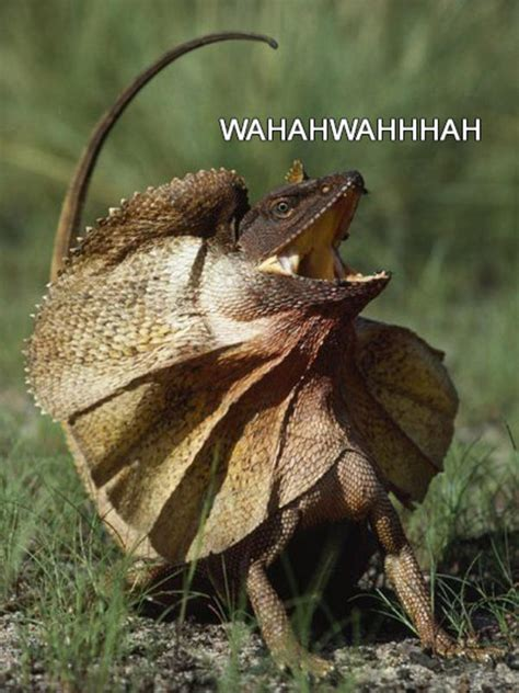 Laughing Lizard Meme - image 804867 laughing lizard hhhehehe know your meme