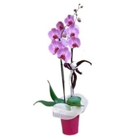 orchidea in vaso orchidee in casa phalaenopsis orchidee