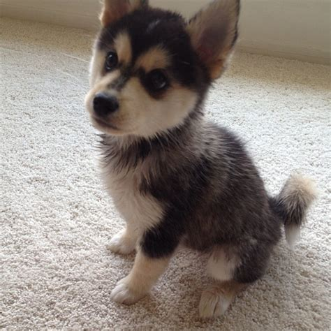 images of pomsky puppies pomsky size