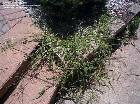 south african couch grass african star grass facts