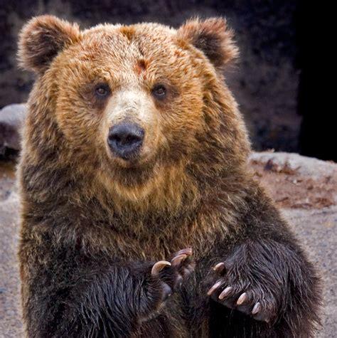bear s grizzly bear bear legend
