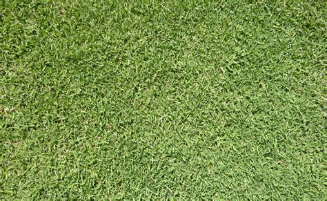 santa ana couch grass santa anna couch 28 images instant grass for your new