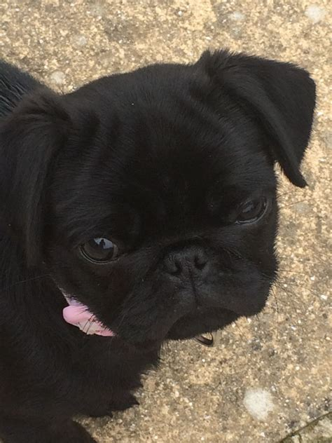 pugs for sale dorset black pug for sale weymouth dorset pets4homes