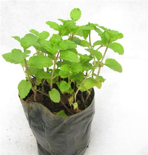 buy peppermint plant pudina plant online at best