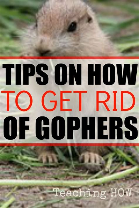 how to get rid of gophers in your backyard tips on how to get rid of gophers food and recipes