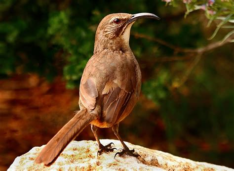 california thrasher audubon field guide