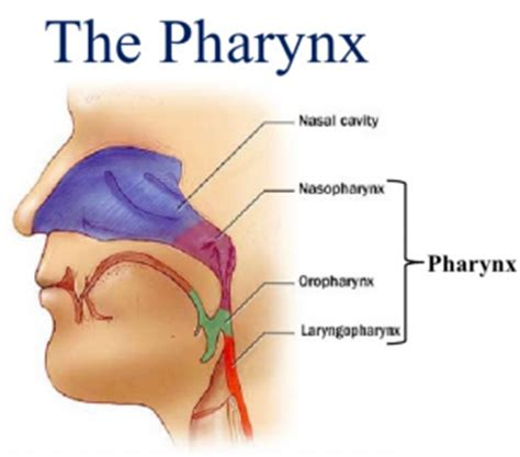 scow voice definition vocal training on building pharyngeal resonance