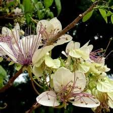 Pupuk Bunga Vinca tanaman tapak dara pink import tegak pink vinca import