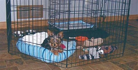 yorkie playpen puppy of the month modern puppies