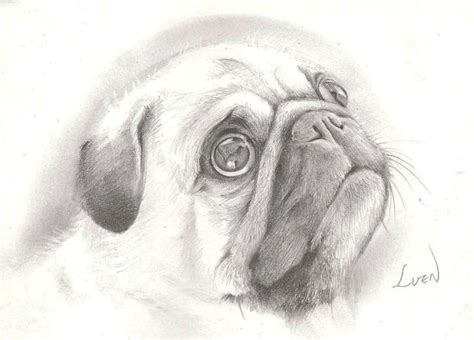 cool drawings of pugs pencil drawings of pugs beautiful pencil drawing isn t it pug mugs my obssesion