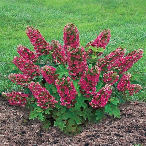 ruby slippers oakleaf hydrangea reviews ruby slippers oakleaf hydrangea