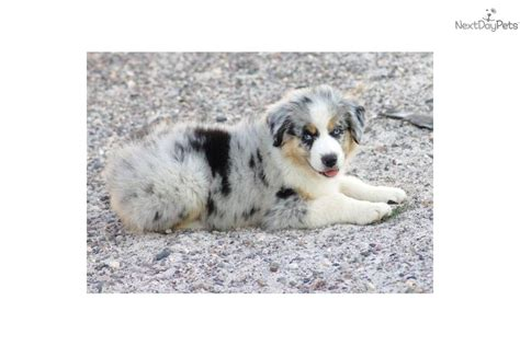 australian shepherd puppies for sale oregon miniature australian shepherd puppies for sale in salem oregon breeds picture