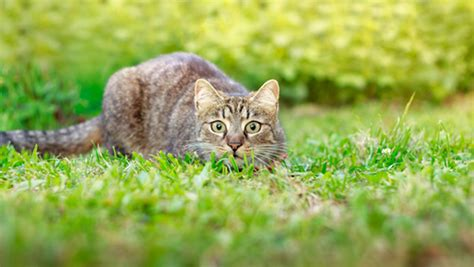 toxoplasmosis in dogs toxoplasmosis in cats and what you should about it