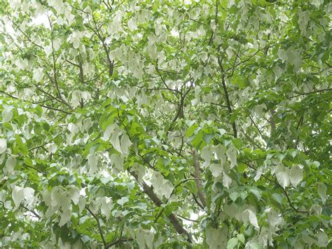 trees images the handkerchief tree griffins garden centre