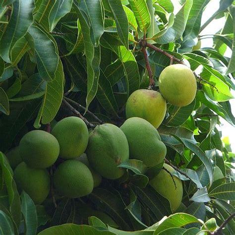 mango tree fruiting mango tree mangifera indica
