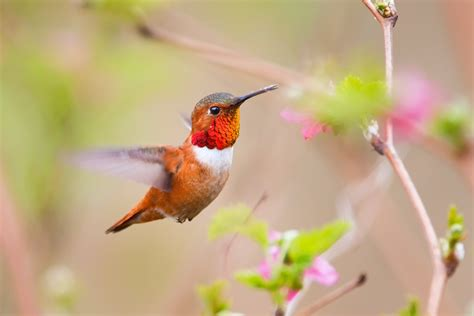 cognition in the wild brought to you by the rufous