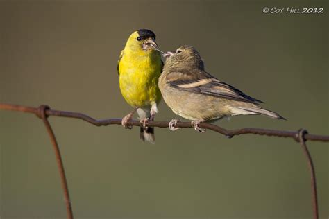 country captures goldfinches in the garden