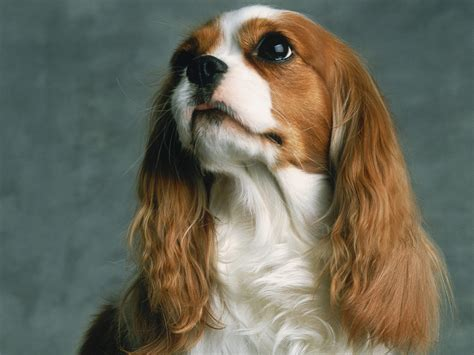 king charles puppies cavalier king charles spaniel puppies pictures